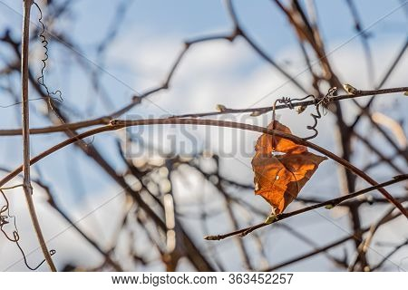 Dry Orange Alone Leaf Of Girlish Grape Is On A Blue Blurred Background In A Park In Spring