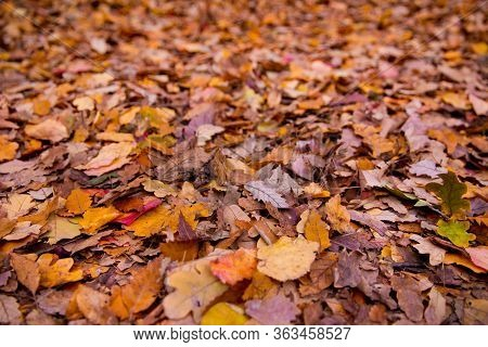 Background Of Colorful Autumn Leaves On Forest Floor . Abstract Autumn Leaves In Autumn Suitable As