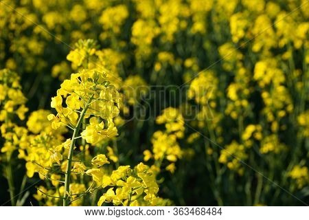 Rapeseed Field. Blooming Canola Flowers Close-up. Bright Yellow Rapeseed Oil. Flowering Rapeseed.