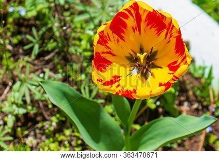 Red And Yellow Tulip, Red And Yellow Tulips, Red And Yellow Tulip In The Garden