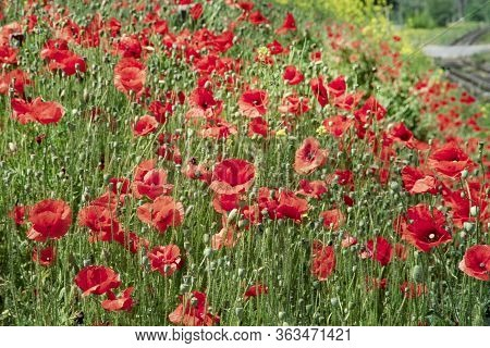Beautiful Flowering Of Red Poppies On The Slope. Field Of Bright Red Poppies On A Sunny Day. Poppy F