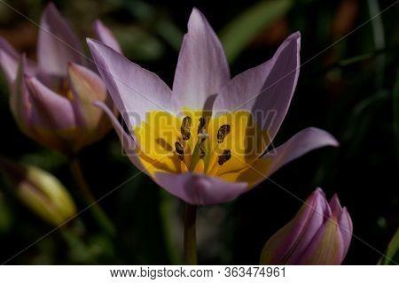 Flower Of The Tulip Tulipa Saxatilis