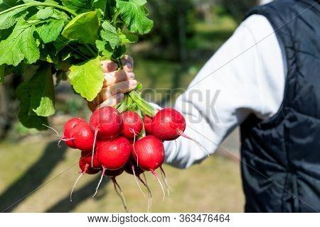 Closeup Female Local Farmer Hand Holding Fresh Ripe Tasty Organic Bio Big Red Radish Bunch Just Pick