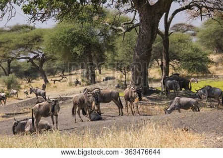 Gnus Under Baobabs In The African Steppe