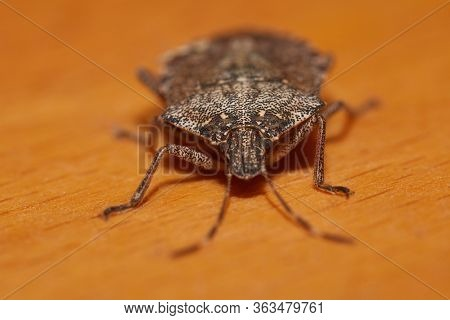 Stink bug on a table