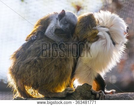 Pied Tamarin With Two Babies On Its Back