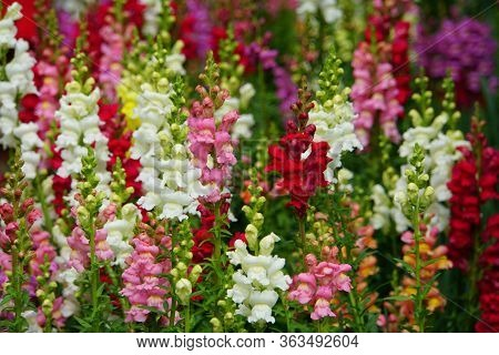 Colorful Varieties Of Snapdragon, An Upright Annual Flower