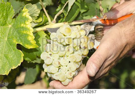 harvester and grape