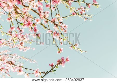 Beautiful Cherry Blossom Sakura In Spring Time Over Blue Sky.horizontal Banner With Sakura Flowers O