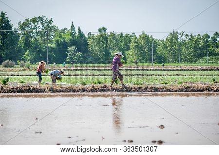 Chongzhou, Chengdu, Sichuan Provicne, China - May 30, 2015 : Peasant Woman Working In Rice Fields