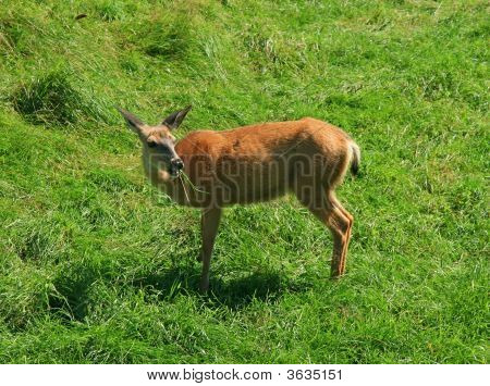 White-tailed deer eating grass in the field. poster