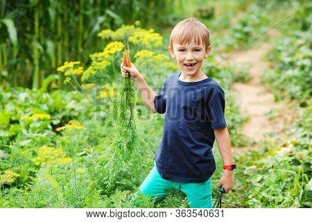 Cute Boy Picking Carrots In A Garden. Vegetable Garden. Little Gardener With Bunch Of Carrots. Garde
