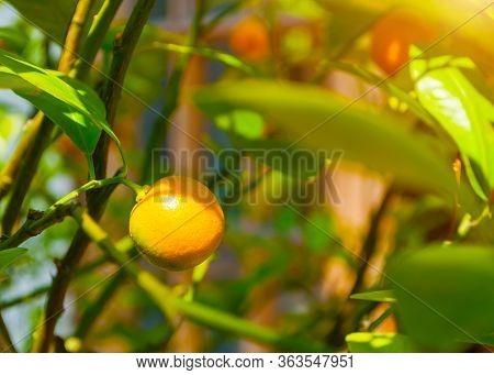 Summer background. Kumquat fruits in summer garden, closeup. Fortunella japonica kumquats, cumquats foliage and orange fruits on kumquat summer tree
