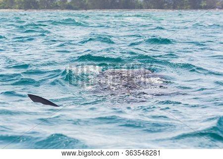 The Whaleshark On The Sea In Tanzania, Africa