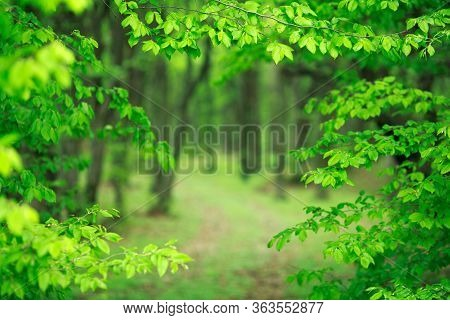 Beautiful Background Of The Young Forest With A Fresh Juicy Green Foliage, With Views Of The Hiking
