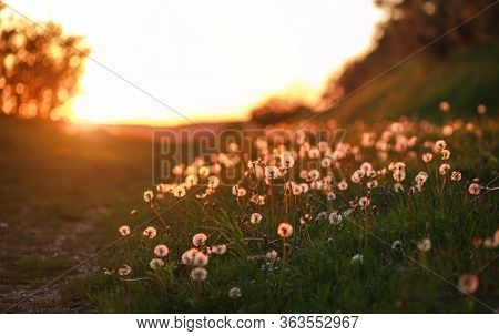 Glade Of Dandelions In The Summer Sunset Light Of The Sun, Dreamy Landscape, Nature Background