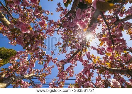 Branch Of Prunus Kanzan Cherry With Pink Double Flowers And Red Leaves,