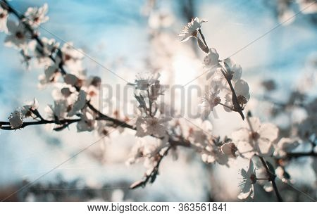 Backlit Cherry Blossoms In Delicate Pink And Blue In Spring