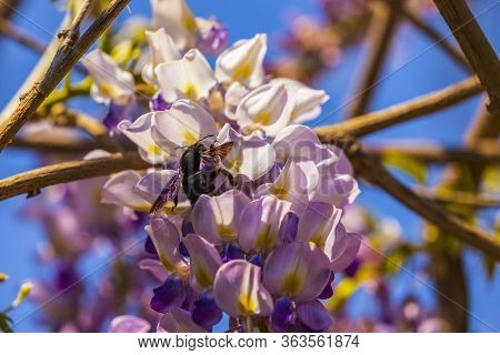 Close-up Image With A Bumblebee With Pollen On Him Pollinating In A Glycine Sinensis Flower