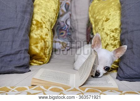 Moscow, Russia. 04-11-2020. A White Chihuahua Dog Lies Among Colorful Pillows Of Different Sizes On
