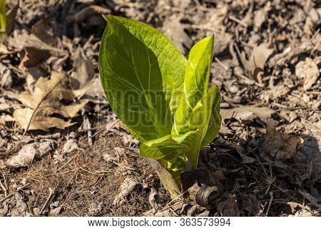 Skunk Cabbage. Growing Green Leaves Of The First Spring Plants In Wisconsin. Skunk Cabbage Is Native