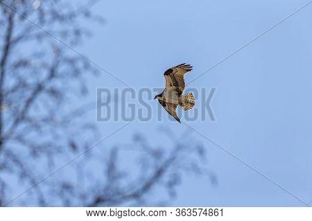 The Western Osprey (pandion Haliaetus) On Flight.osprey Also Called Sea Hawk, River Hawk, And Fish H