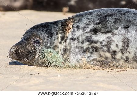 Plastic Pollution. Fishing Net Line Caught Around Seals Neck. Animal Welfare. The Problem Of Marine