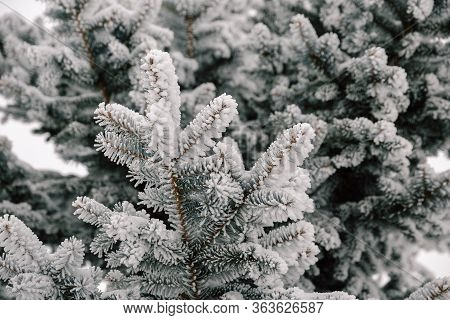 Branch Of Spruce Tree With White Snow. Winter Spruce Tree In The Frost. Layer Of Snow On Branches Of