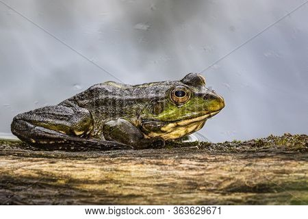 A Large Green Frog Sits On The Edge Of A Large Piece Of Wood At The Water's Edge On A Rainy Summer D
