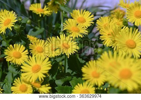 Fully Yellow Garden Flowers. A Lot Of Perennial Daisies.