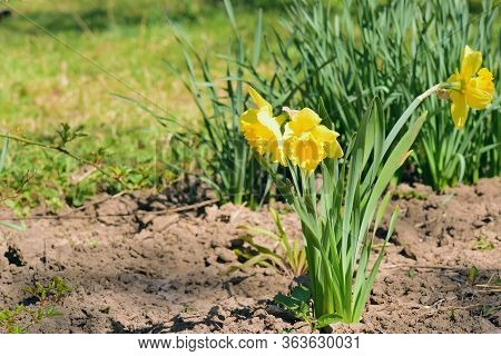 Daffodil Flowers On A Soil. Yellow Narcissus In The Garden.