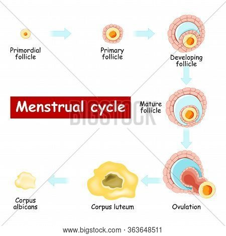Menstrual Cycle. Changes In Ovary: From Developing Follicle To Ovulation And Corpus Luteum. Chart Of