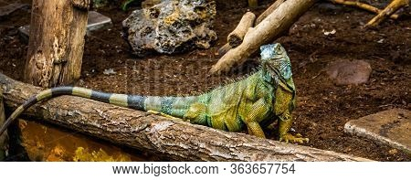 Portrait Of A Green American Iguana Looking In The Camera, Popular Tropical Reptile Specie From Amer