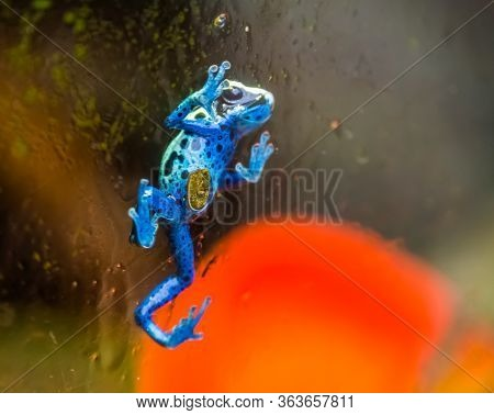 Blue Poison Dart Frog Walking Against The Glass Window, Tropical Amphibian Specie From Suriname, Sou