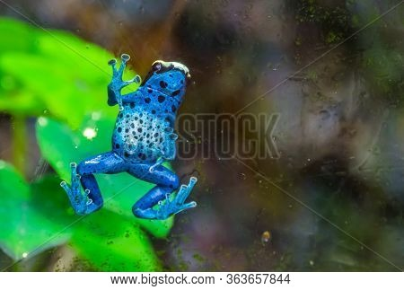 Funny Closeup Of A Blue Poison Dart Frog Climbing Against The Window, Tropical Amphibian Specie From