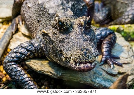 African Dwarf Crocodile With Its Face In Closeup, Tropical And Vulnerable Reptile Specie From Africa