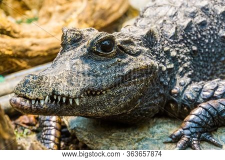 Closeup Of The Face Of A African Dwarf Crocodile, Tropical And Vulnerable Reptile Specie From Africa