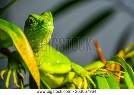 Closeup Portrait Of A Green Plumed Basilisk, Tropical Reptile Specie From America