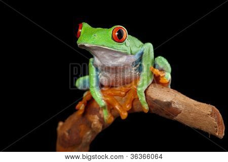 red eyed tree frog on branch in rainforest Costa Rica curious cute night animal tropical exotic amphibian