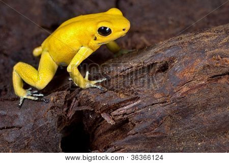 poster of poison frog very poisonous animal with warning colors Phyllobates terribilis Colombia amazon rainforest toxic amphibian