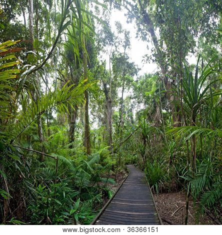 trail in tropical rainforest Cape Tribulation AUstralia, ancient rain forest exploration hiking in wilderness