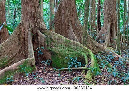 tree roots at tropical rainforest queensland Australia, Cape tribulation ancient rain forest