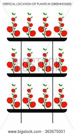 Vertical Decomposition Of Plants In Greenhouses, Growing Tomatoes Vertically. Colored Isolated Vecto