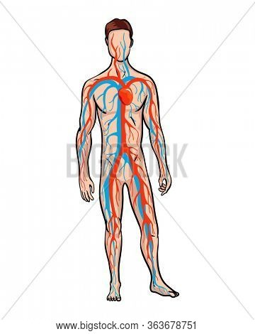 Male circulatory system. illustration of blood circulation in human body. Human arterial and venous circulatory system