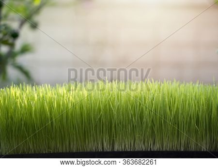 Wheatgrass And Juice On White Background ,healthy Dring
