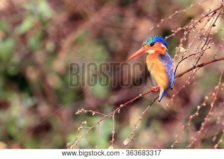 The Malachite Kingfisher (corythornis Cristatus) Sitting On The Reed. Kingfisher With Green Backgrou