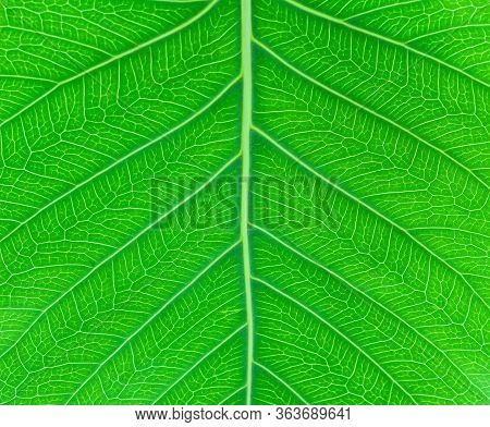 Sacred Fig Leaf (ficus Religiosa L. , Pipal Tree, Bohhi Tree, Bo Tree, Peepul )  On White Background