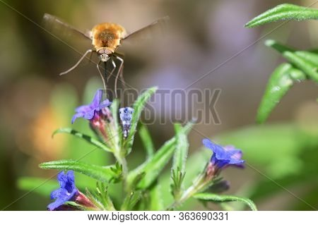 Large Bee Fly (bombylius Major) Sucking Nectar From A Flower
