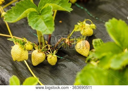 Gardening, Early Harvesting Concept. Closeup Of Green Ripening Strawberries With Leafs On Bush