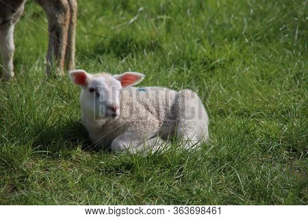 Newborn Lambs Frolicking Through The Grass With Their Mother On A Farm In Bleiswijk, The Netherlands